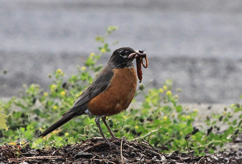 American Robin adult gathering food for chicks