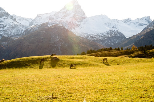sunset mountains alps fall switzerland cattle gazing 2011