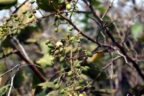 Chunna, summer berries, Saligao hills, Goa.