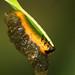 Si Ulat Kumbang by zulbaning