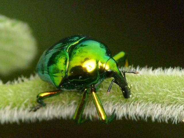 Gold green metallic weevil eurhinus magnificus curculionidae