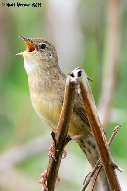 Grasshopper Warbler