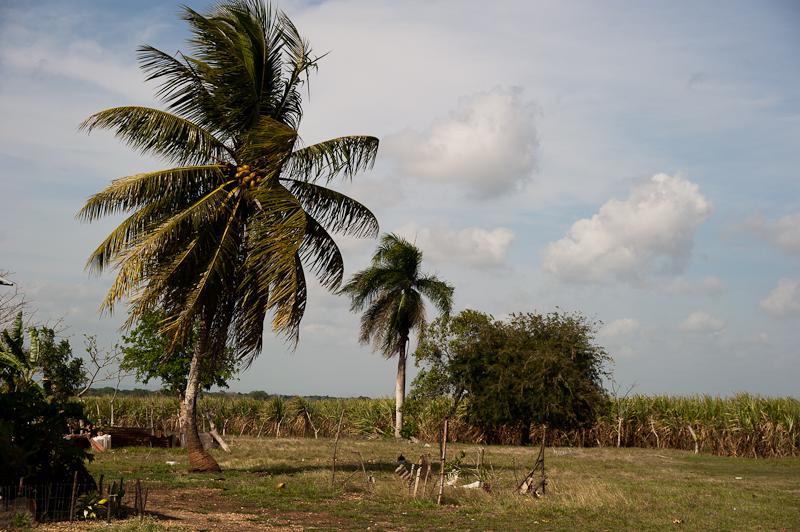 Coconut in Sugarcane