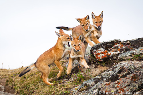 Four Wolf Pups by Burrard-Lucas Wildlife Photography