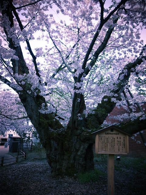 A large cherry tree