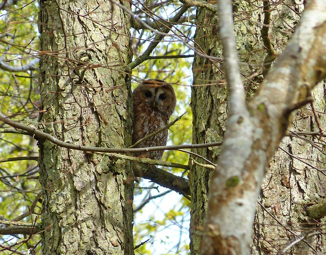 27033 - Tawny Owl, Quinish Woods, Mull