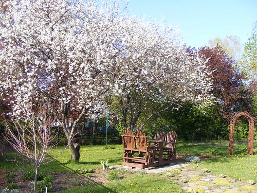 ** Les cerisiers sont en fleurs...**