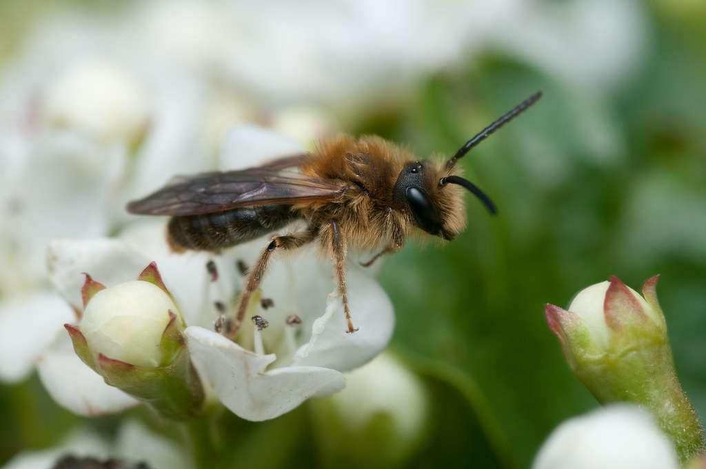 Andrena haemorrhoa (m)