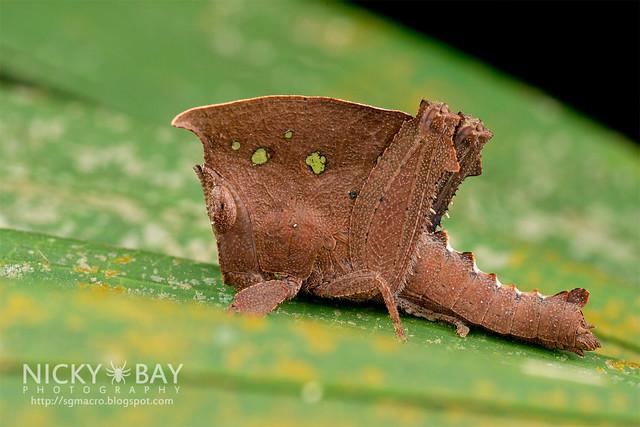 Dead Leaf Grasshopper (Caelifera) - DSC_6493