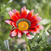 Red Chrisanthemum