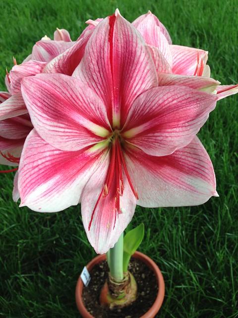 Gervase amaryllis #1