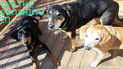 Let The Sunshine In! #RescuedDogs #HappyDog #DobermanPuppy #HoundMix #SeniorDogs #LapdogCreations ©LapdogCreations142048
