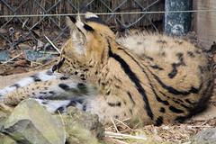 Leptailurus serval DT [NZ Auckland Zoo] (1a)baja