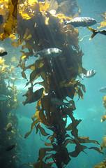 reef(0.0), coral reef(1.0), algae(1.0), seaweed(1.0), fish(1.0), coral reef fish(1.0), sea(1.0), ocean(1.0), marine biology(1.0), underwater(1.0), kelp(1.0),