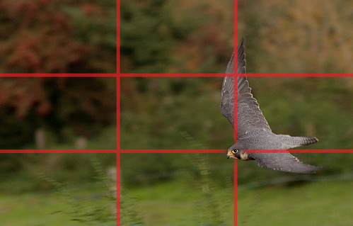 A peregrine falcon swooping and showing the strong features of the Rule of Thirds.