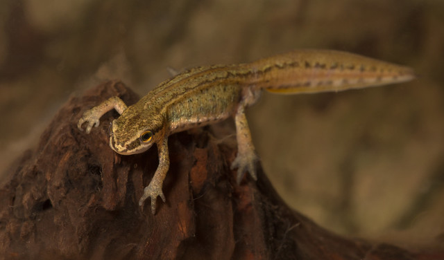 palmate newt from ed pond 2 100mm 5 edited