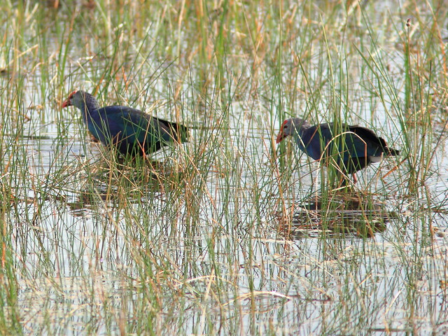Purple Swamphens 20120309