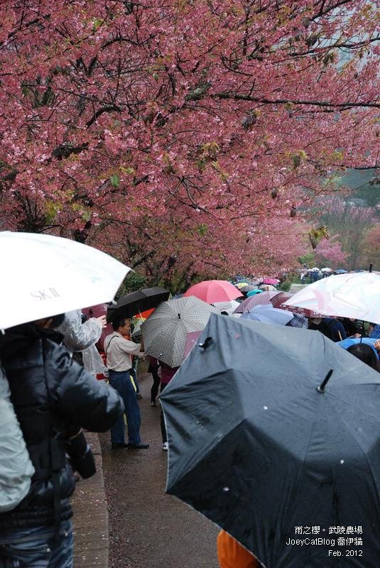 2012_0227_雨之櫻。武陵農場DSC_4371_32