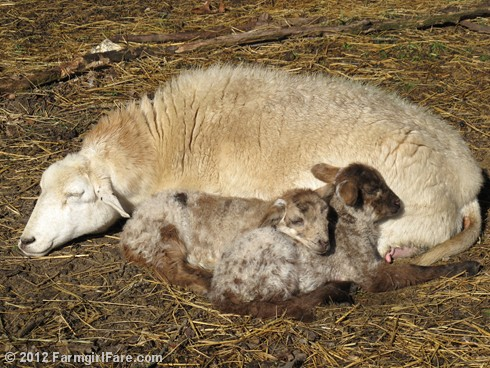 Friday random lamb photos 2 - FarmgirlFare.com