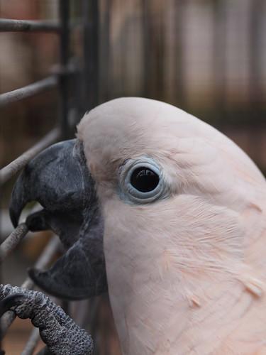 富士花鳥園 オオバタン