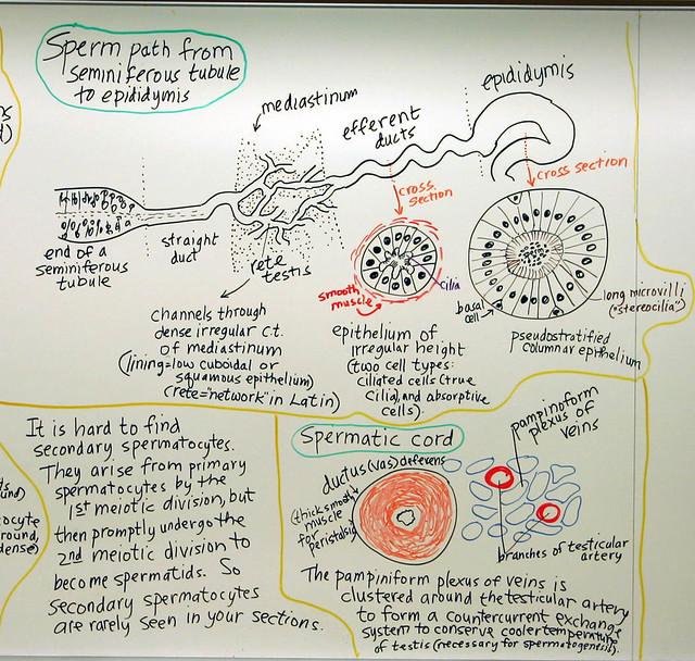pathway sperm midsaggital view