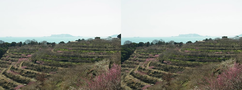Ayabeyama plum farm, stereo parallel view