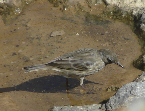 Rock Pipit (Anthus petrosus) by Peter Orchard