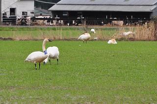 2012-03-17 Tundra Swan (03)  T639 (1024x680)