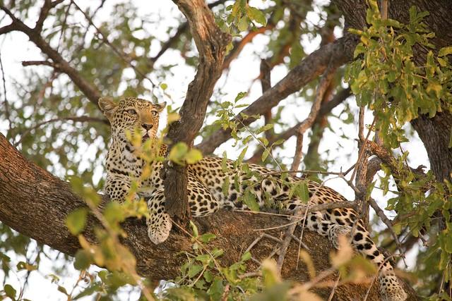 Leopard i Serengeti