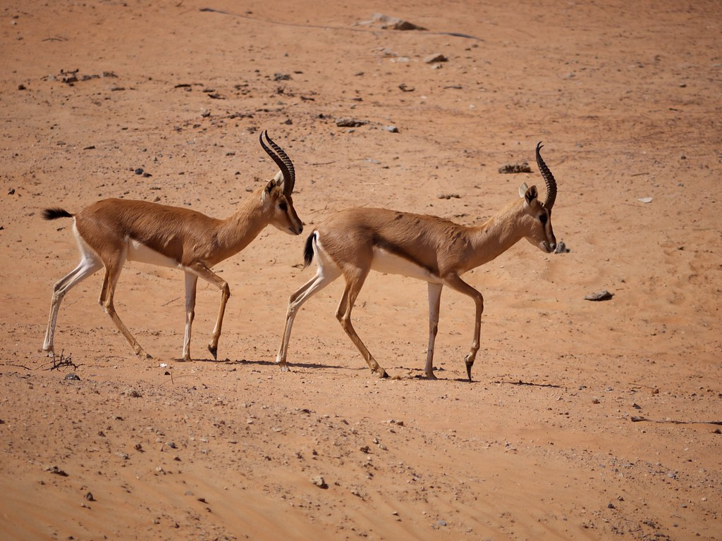 Arabian Gazelles outside our window