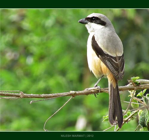 bird canon ngc shrike flickraward