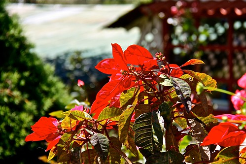 Poinsettia Splash
