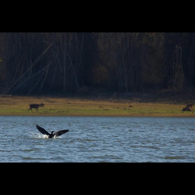 Cormorant landing @ Kabini River