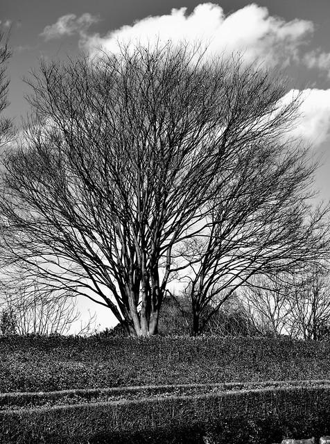 Zelkova tree 2