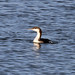 Small photo of Pacific Loon