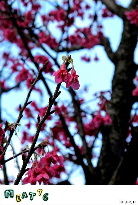 【遊記】陽明山國家公園|櫻花乍現在粉紅意境的花花世界04