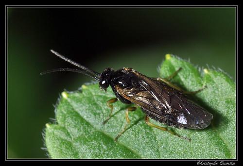 Tenthrède (Dolerus sp. ?)