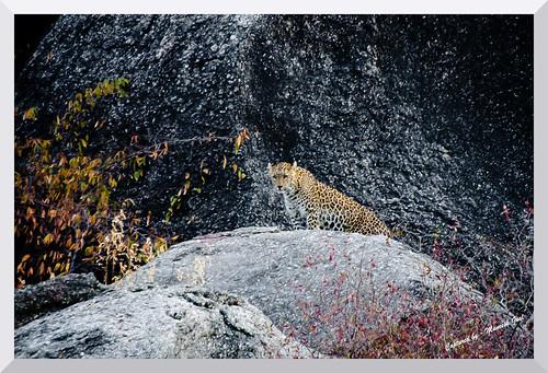 Alert Leopard on a boulder