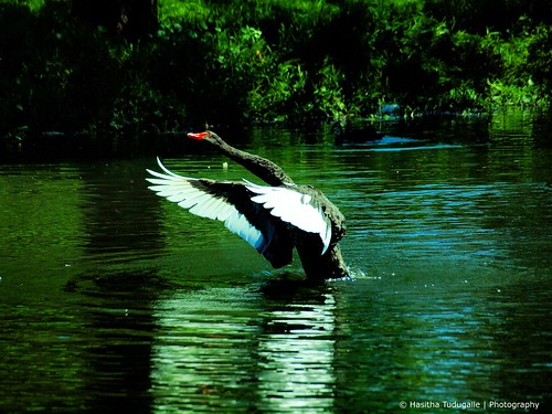 Black Swan taking off