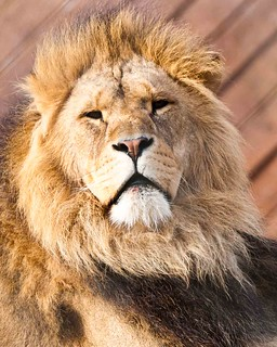 Male Lion - Colchester Zoo