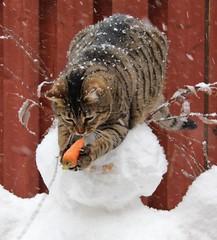 [フリー画像素材] 動物 1, 猫・ネコ, 雪, 人参・ニンジン ID:201202251000