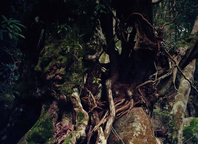 Aged tree of the forest