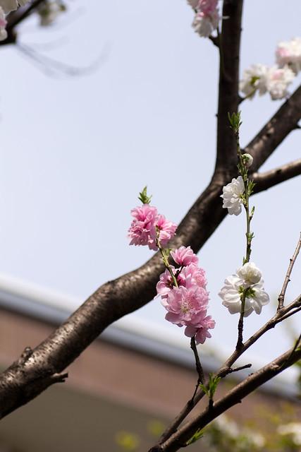 Photo:Peach Flower (O-okayama, Tokyo, Japan) By t-mizo