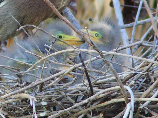 Green Heron chicks close-up 20120415