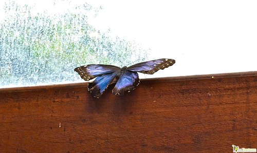 San Jose is the La Paz Waterfalls and Gardens morpho butterfly largest butterfly garden of costa rica