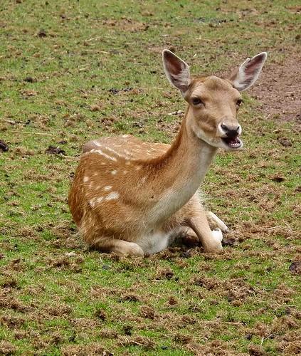 Bambie   (Fallow Deer)  (Explored)