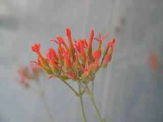 Kalanchoe rotundifolia, Zulu Invisibility Plant