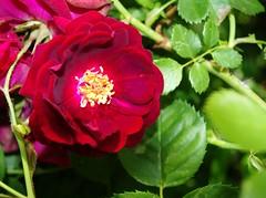 Almost Hidden Rose