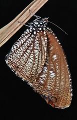 Spotted Palmfly (Elymnias malelas, Satyrinae), female