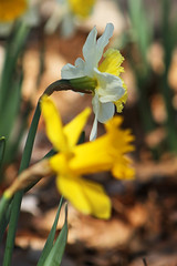 White & Yellow Daffodil